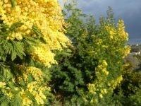 mimosa season côte d'azur | Lou Messugo