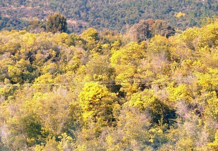 mimosa forest massif de tanneron