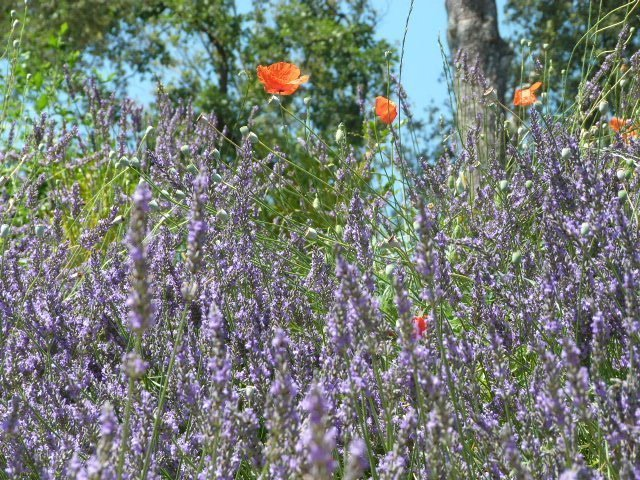 bees in lavender 1