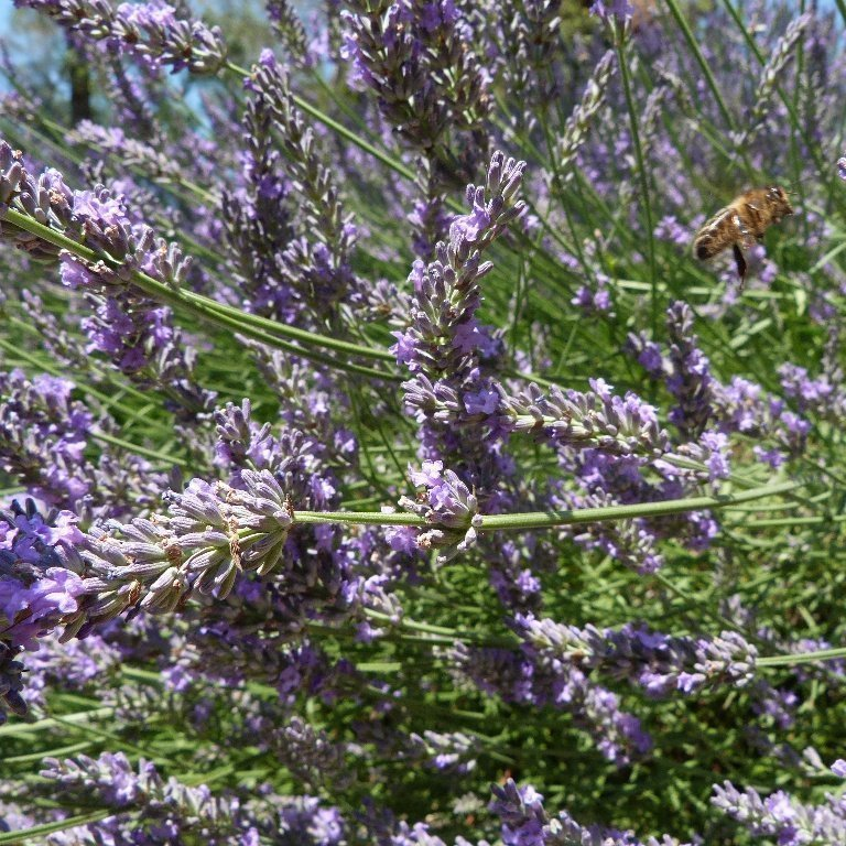 bees in lavender 2