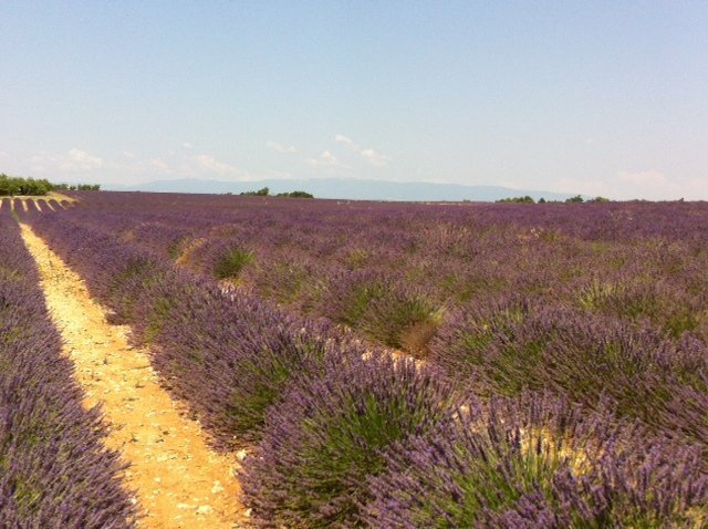 lavender harvested and blooming