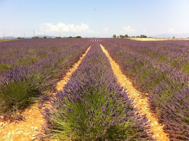 farm in the lavender