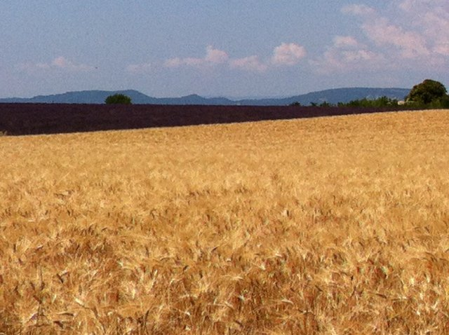 lavender and wheat in Provence