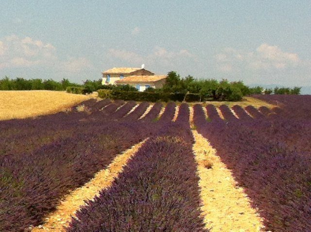 lavender fields Provence | Lou Messugo