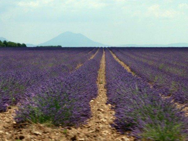 lavender fields Valensole Provence