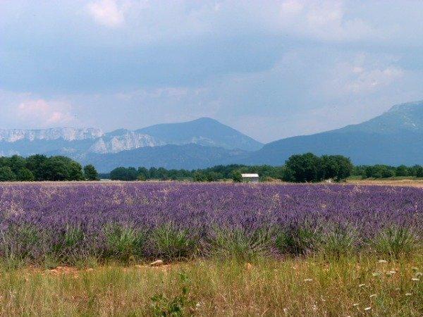 lavender haute provence | Lou Messugo