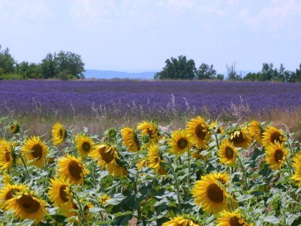 lavender and sunflowers Provence