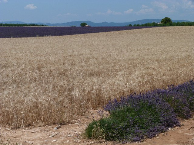 lavender fields in Haute Provence