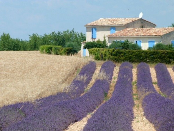lavender fields Provence