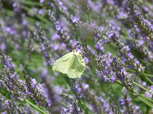 lavender and butterfly in Lou Messugo garden