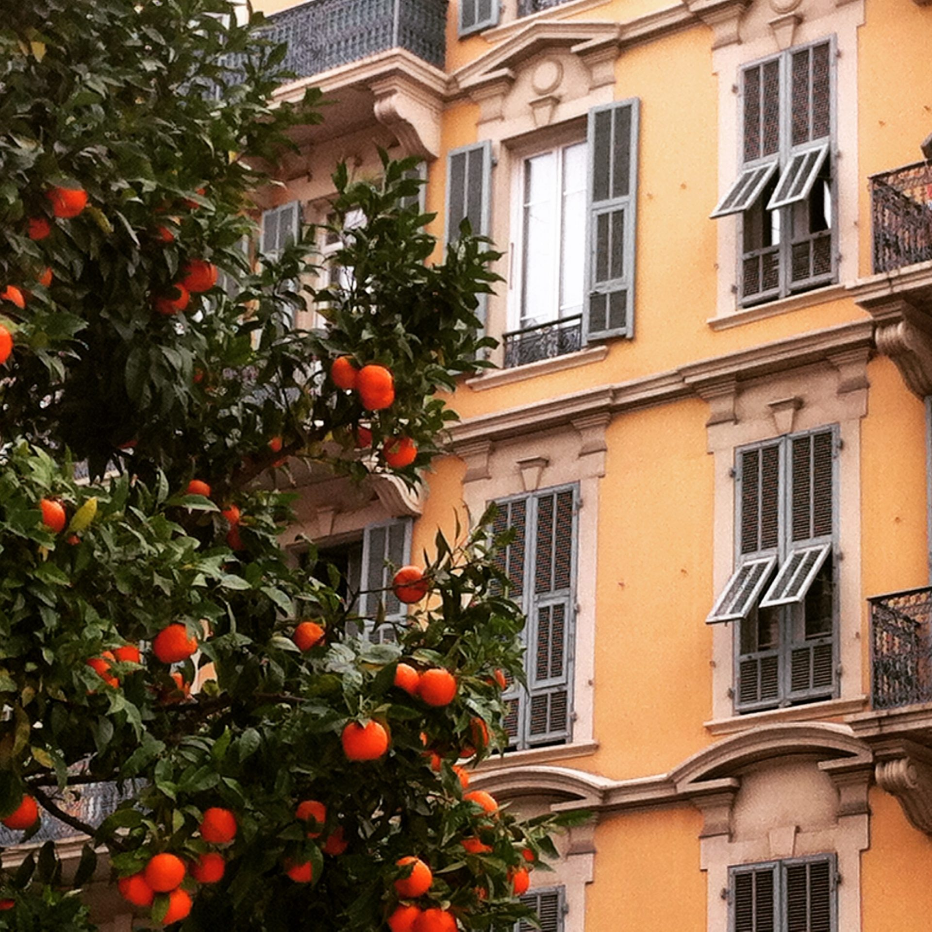 orange trees in Nice