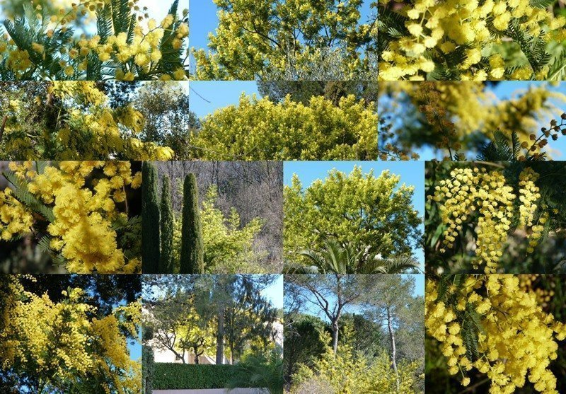 Mimosa in Roquefort les Pins