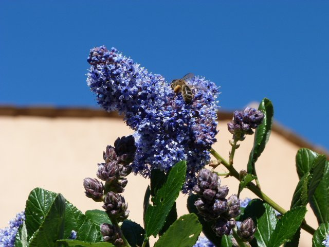 ceanothus and bee at Lou Messugo