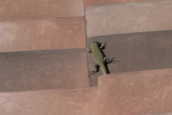 lizard on tiles