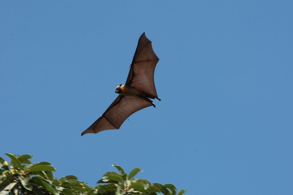 A roussette a large daytime bat in Mayotte
