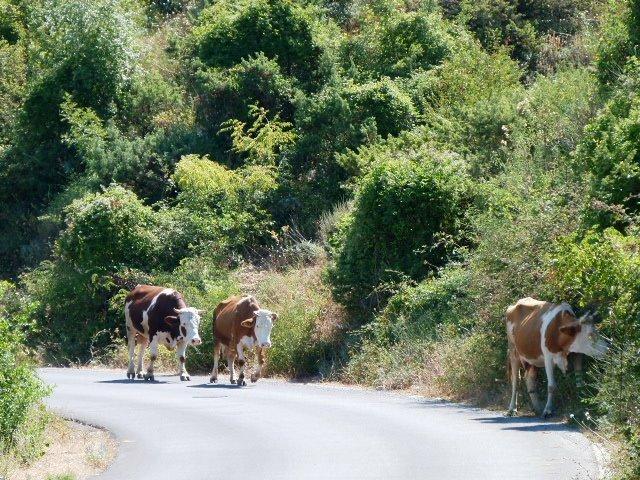 Lovcen road cows