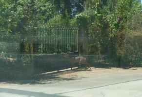 deer in chemin des Pignatons