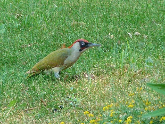 green woodpecker at Lou Messugo