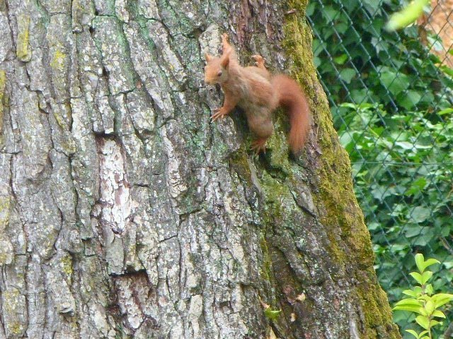 red squirrels in garden