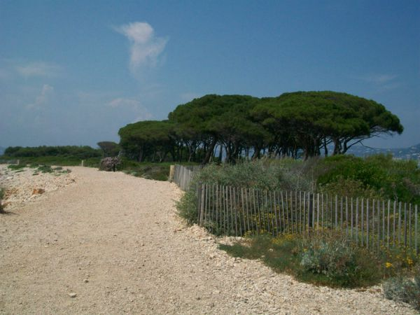 umbrella pines on Ste Marguerite