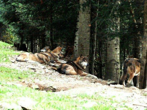 Alpha Parc wolves