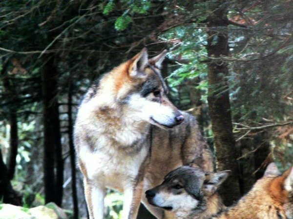 wolves at Alpha Parc Mercantour National Park France
