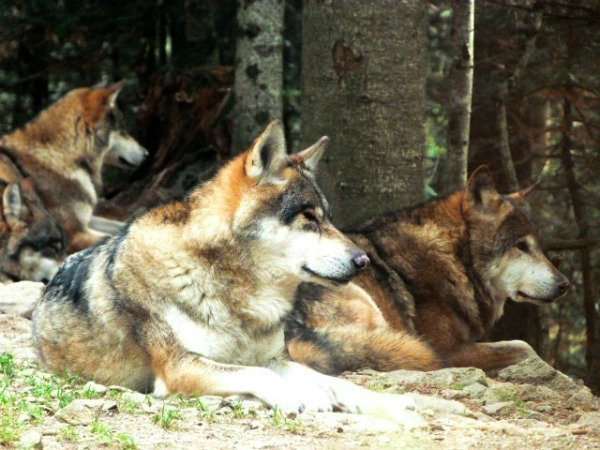 Wolves in the South of France