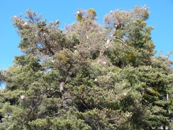 processionary caterpillar nests in pine tree