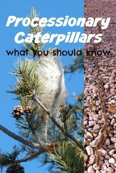 processionary caterpillars what you should know