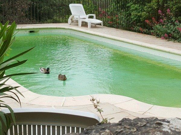 ducks in pool