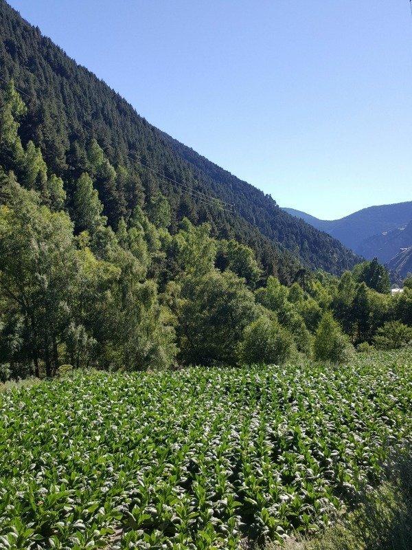 Andorra tabacco crop