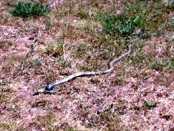 snake at Lou Messugo