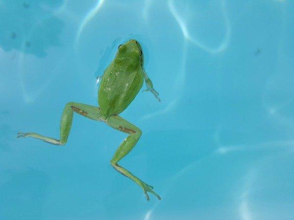 tree frog in pool