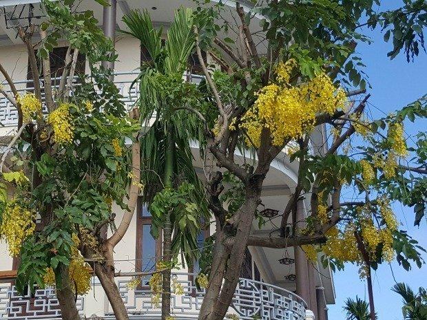 flowering trees in Hoi An