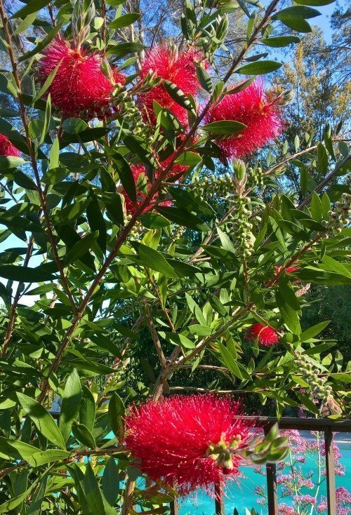 May garden – bottlebrush