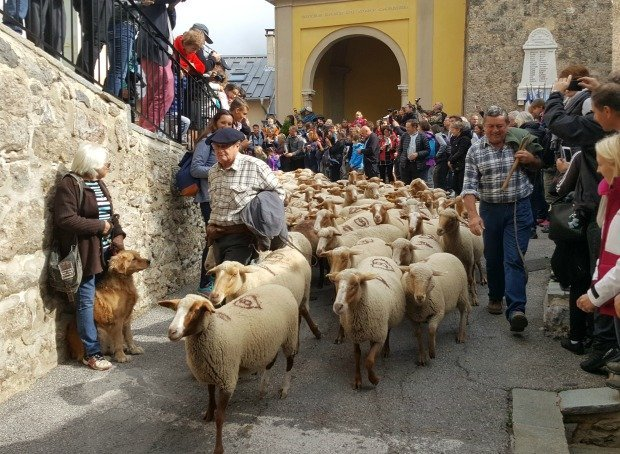 Transhumance first sheep