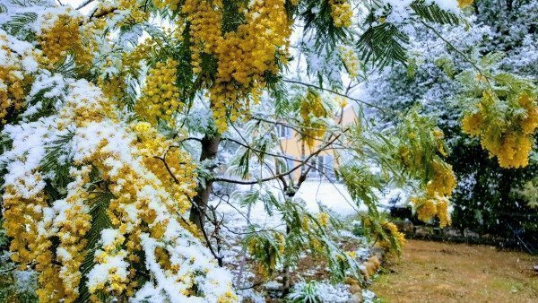 mimosa in snow