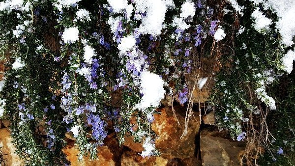 rosemary with snow