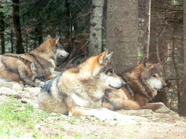 wolves_at_alpha_parc_st_martin_vésubie_mercantour