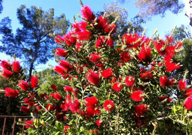 Calistemon dans le jardin de Lou Messugo