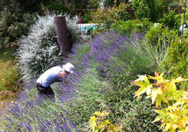 gardening in the lavender