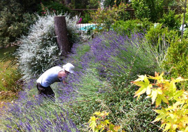 gardening in the lavender