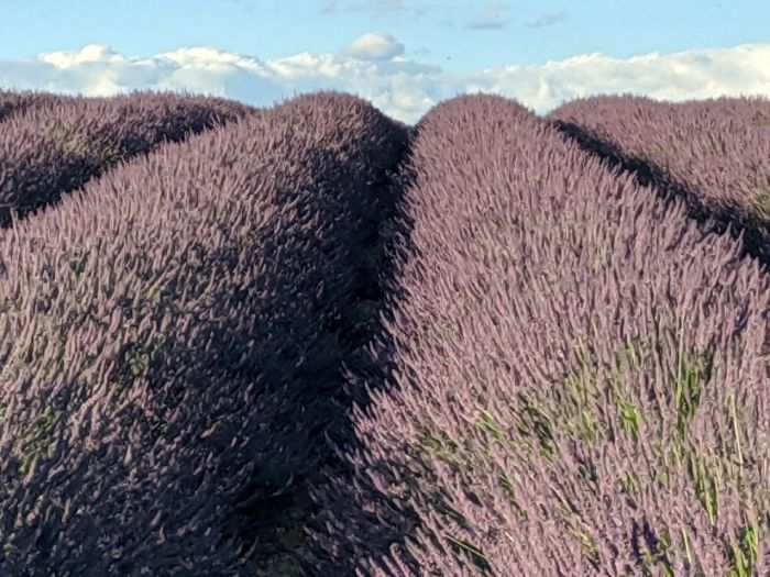 Visiting the Lavender Fields of Provence