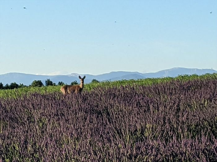 deer in lavender | Lou Messugo