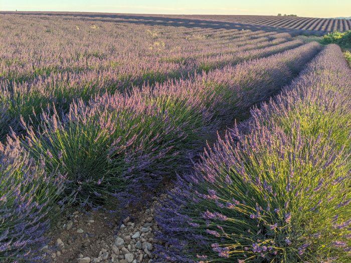lavender field | Lou Messugo