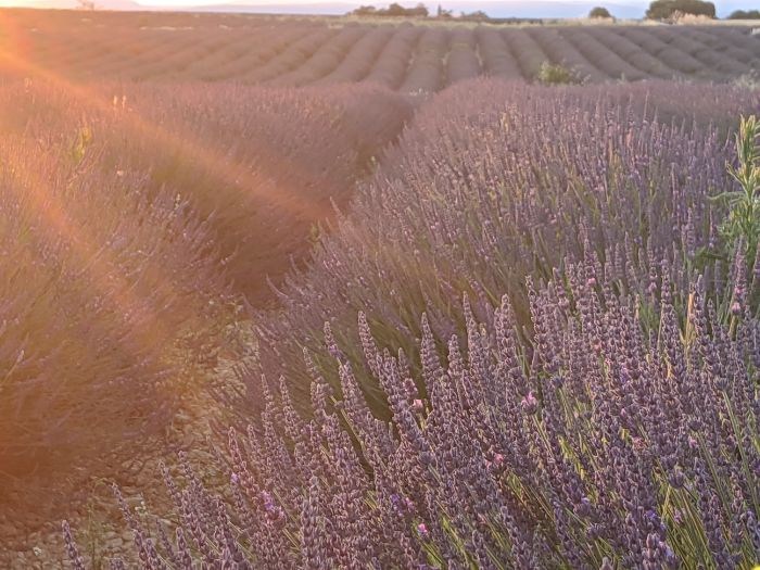 lavender fields of Provence | Lou Messugo