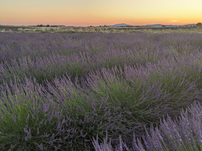 lavender at sunset | Lou Messugo