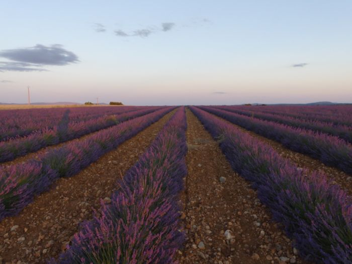 evening in lavender fields | Lou Messugo