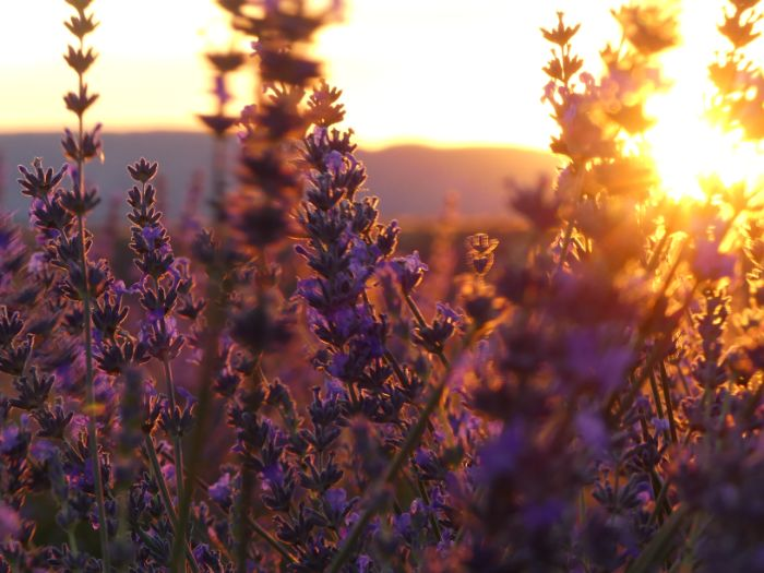 close up of lavender at sunset | Lou Messugo