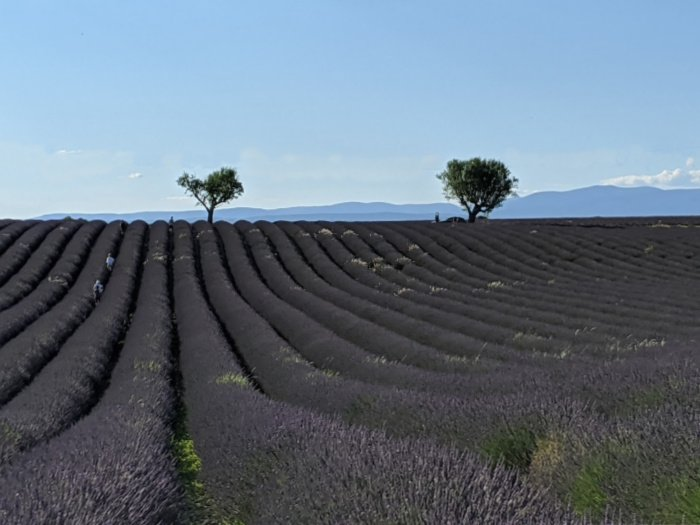 lavender field and trees | Lou Messugo